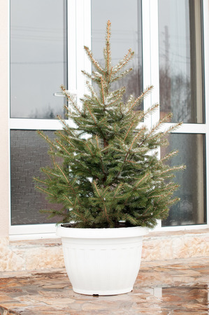 Alive fir tree in pot prepared for Christmas