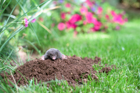 Mole out of molehill in a garden