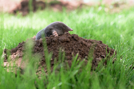 Mole out of molehill in a grass Stock Photo