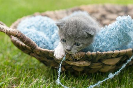 Grey kitten with blue blanket in a wooden basket