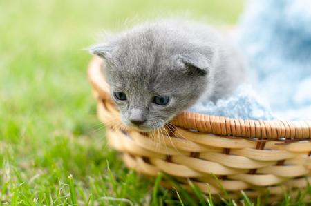 One grey kitten in a basket with blue knitten blanket