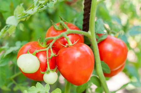 Green and red tomatoes on a steam