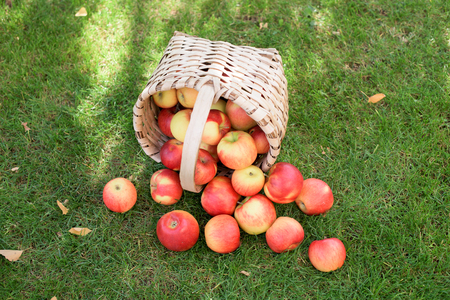 Ful of home red ripe apples basket