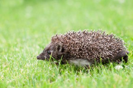 Small grey hedgehog wolking through a grass