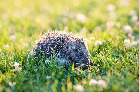 Small grey hedgehog walking in the grass