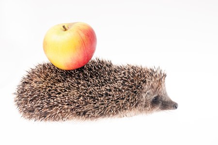 Hedgehog with apple on its back Stock Photo