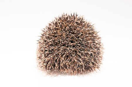 Back of a hedgehog on white background