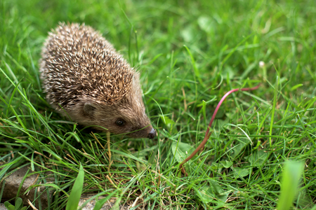 Small hedgehog in a garden - close up