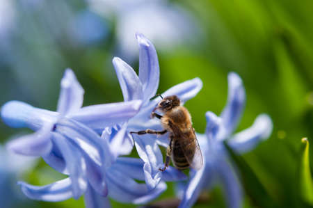 A bee collects pollen from a blossoming blue hyacinth Standard-Bild