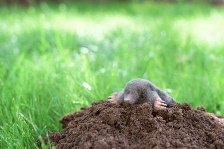A little black mole that came out of its hole in the garden Standard-Bild