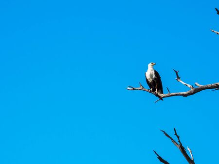 African fish eagle standing still on dry tree branch with blue sky looking to right side