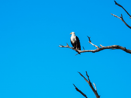 African fish eagle standing still, on dry tree branch with blue sky looking left side