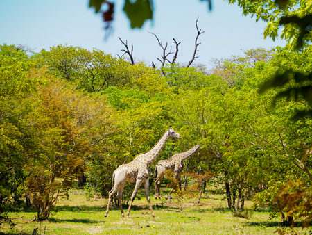 chobe national park: Group of giraffe walking in african savanna on sunny day with leaves foreground Stock Photo
