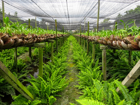 Orchid farm row with beautiful green fern on humid ground under shading net
