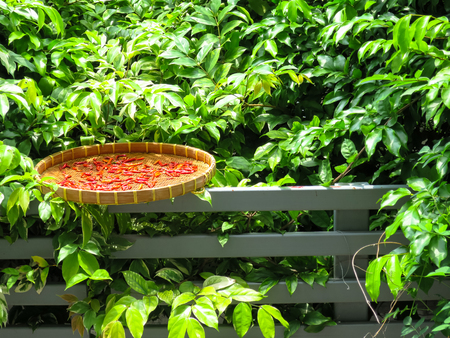 Red chilli dried in the sun on traditional threshing basket or winnowing basket at home fence with green plant background