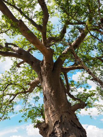 chobe: View of Baobab tree trunk, branches, green leaves with blue sky and white cloud
