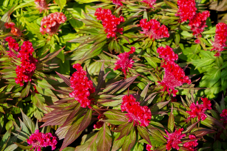 Cockscomb flower or Celosia cristata in bright red color blooming under sunlight with green leaves background