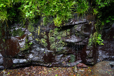 Green plant, moss and lichen on rock wall with waterfall in lush japanese landscape after raining, Takachiho, Miyazaki, Japan