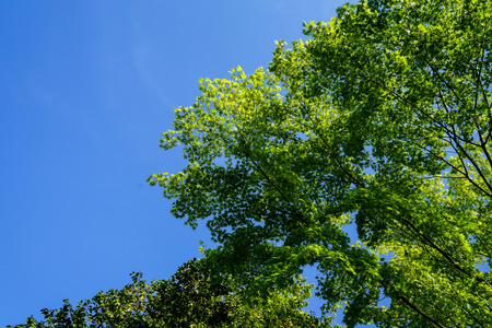 Shade of green maple leaves branches with clear blue sky background on sunshine day, Kurokawa onsen town, Japan