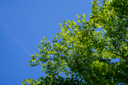 momiji: Shade of green maple leaves branches with clear blue sky background on sunny day, Kurokawa onsen town, Japan