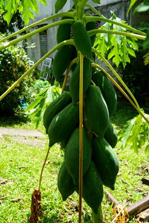 Growing green raw papaya fruits on homegrown tree on sunshine day, Thailand