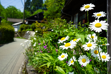 Closeup bright white daisy flowers blooming with yellow pollen on street side among other flowers on sunshine day, Kurokawa onsen town, Japan Imagens