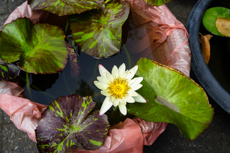 Beautiful white water lilies or Nymphaea blooming among leaves in plastic pot in local gardening shop, Thailand