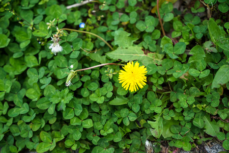 Bright small ground cover yellow flower blooming among green leaves in Kurokawa onsen town, Japan