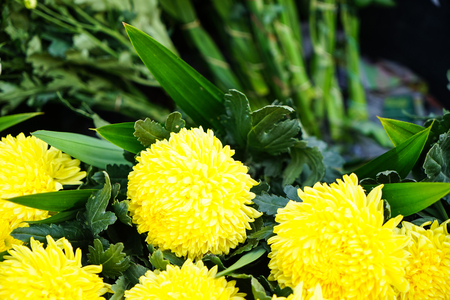 Fresh beautiful bright fluffy yellow blooming Chrysanthemums pompon flower foreground with green leaves background selling in local market, Thailand