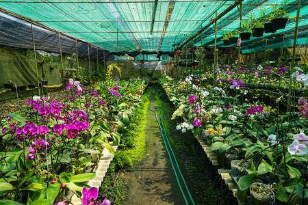 Orchid farm row full of blooming and budding purple and white Phalaenopsis orchid flower and green leaves on humid ground, Thailand