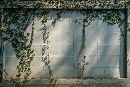 Green creeping plant on white paint brick wall copy space with sunlight shadow, Chiangmai, Thailand