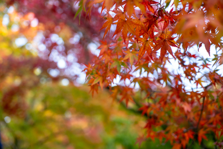 Beautiful autumn maple leaves foreground in yellow, orange, red and green color with colorful blurred bokeh background, Kyoto, Japan Standard-Bild - 122203939