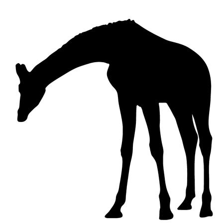 black silhouette of a giraffe. isolated vector illustration Illustration
