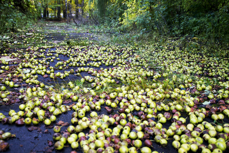 a huge crop of pears or apples. autumn landscape with fruits on the ground Reklamní fotografie