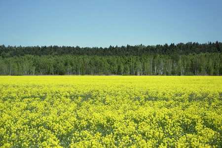 landscape of the field with yellow flowers on a sunny day