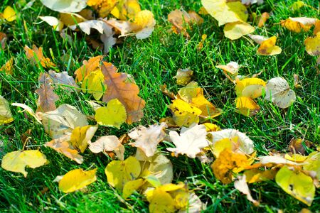 many yellow leafs on the green grass Stock Photo