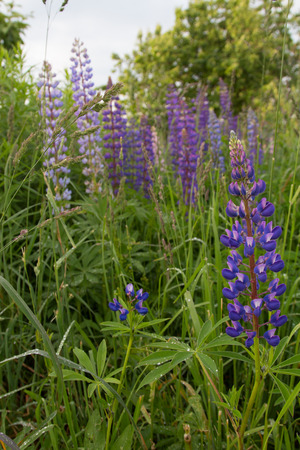 lupines: Lupines in the meadow