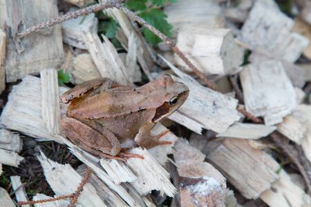 slivers: Brown frogs on slivers Stock Photo