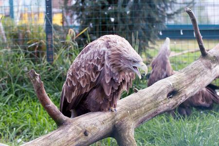 An eagle on a tree