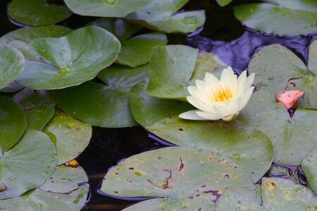 white lily: Lirio blanco en un estanque Foto de archivo