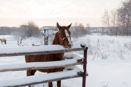 Brown horse in the country in winter time