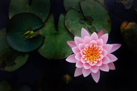 pink lotus: The Top view of Beatiful Pink Lotus in pond with black background. Stock Photo