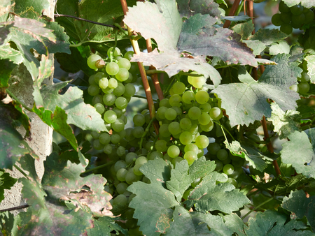 White grapes in a vineyard in Vrancea, near Focsani, Romania, at harvest time Stock Photo