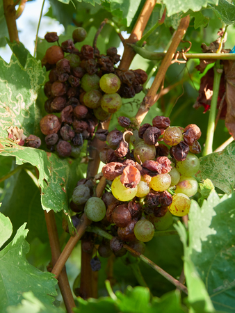 An example of grape illness or disease in a vineyard in Vrancea, Romania Stock Photo