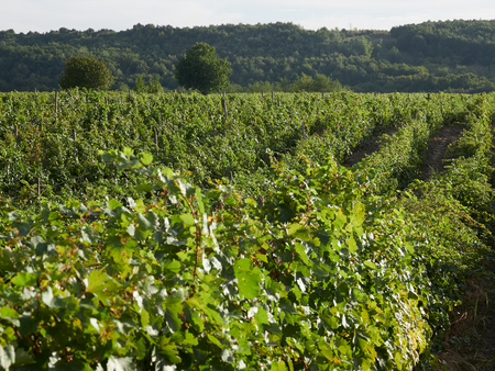 Vineyards in Vrancea, near Focsani, Romania, at harvest time Stock Photo