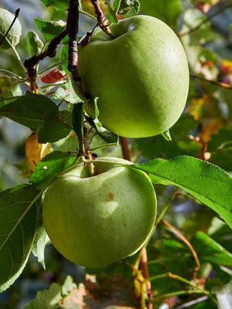 Apple tree with apples in Vrancea, Romania, in autumn