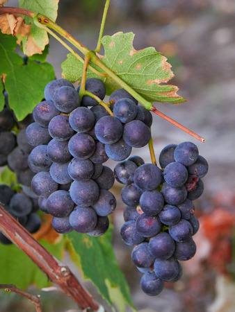 Close-up of a red grape in a vineyard in Vrancea, Romania, at harvest time Stock Photo