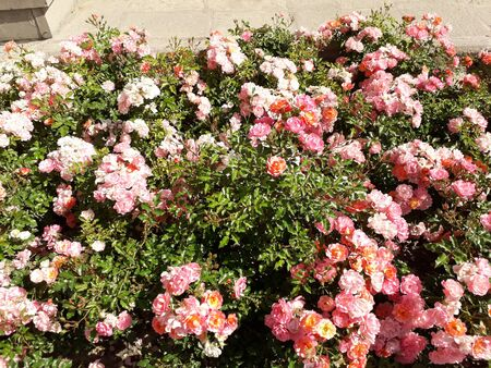 A flower bed with abundantly blooming pink roses illuminated by the sun.