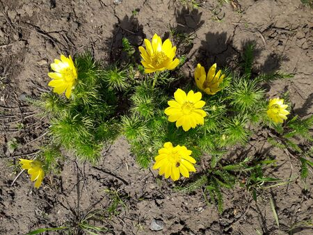 Spring Pheasant's Eye. Spring Adonis with bright yellow flowers illuminated by the sun. Adonis vernalis.