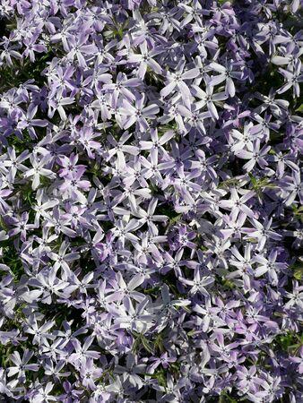 Abundant blooms of Moss Phlox with flowers of lilac color. Phlox subulata. Фото со стока